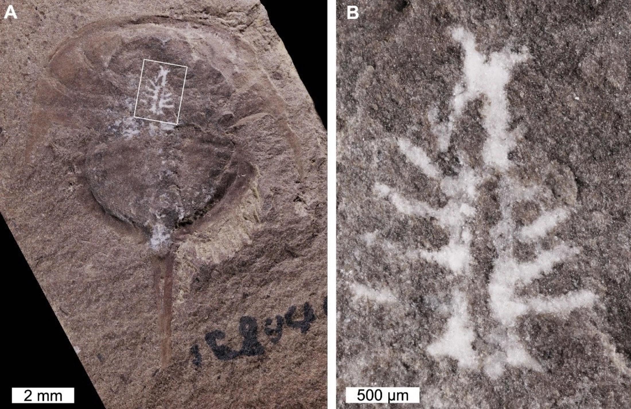 琥珀中发现3.1亿年前马蹄蟹的大脑
