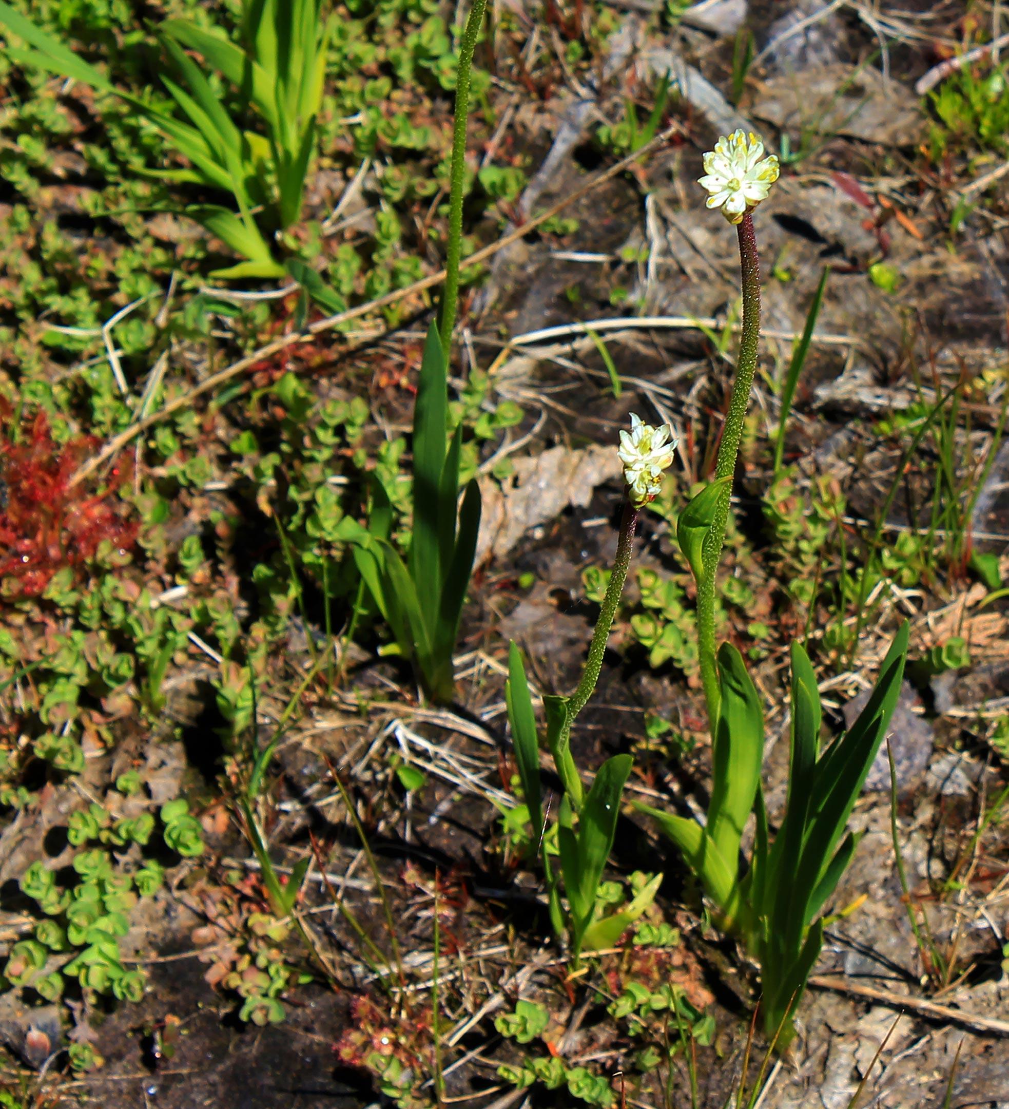 北美西部发现一种新的食肉植物——Triantha occidentalis