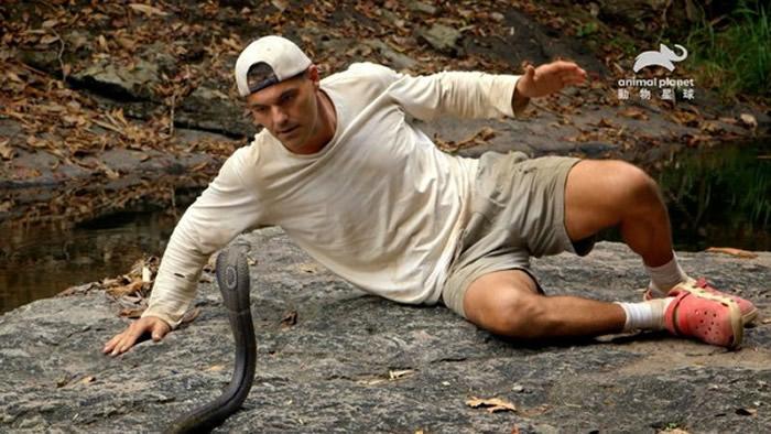 常见于东南亚的黑眼镜蛇毒性猛烈,颈部皮褶有一圆形斑纹,又称为单眼镜蛇。(图/动物星球频道提供下同)