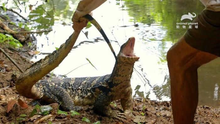 强而有力的尾巴、利齿与锐爪都是泽巨蜥的攻击利器。