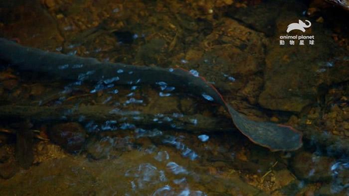 红纹刺鳅的头和尾巴有亮红色线条,优雅摆尾时的移动方式与龙相似。