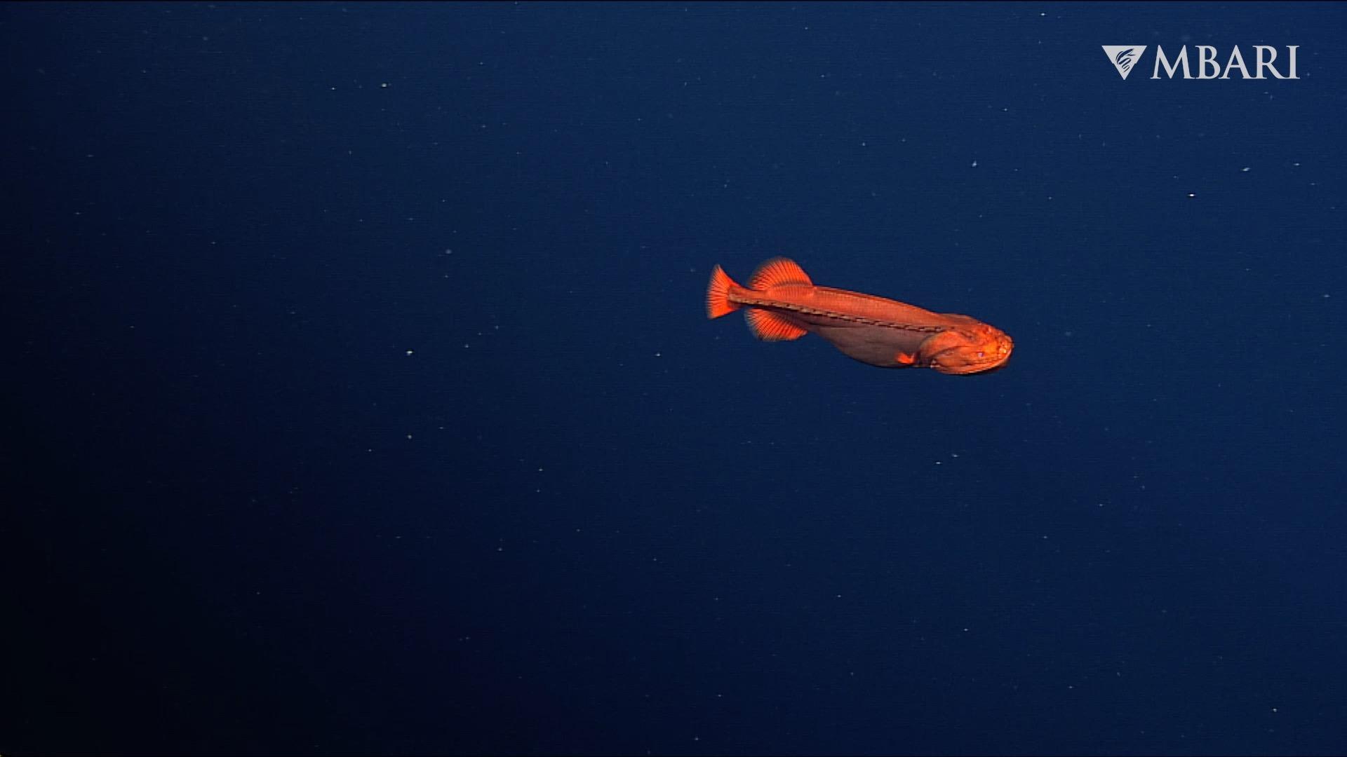 """美国加州蒙特利湾深海发现""""橙色幽灵鱼""""Whalefish 过去34年只发现过18次"""