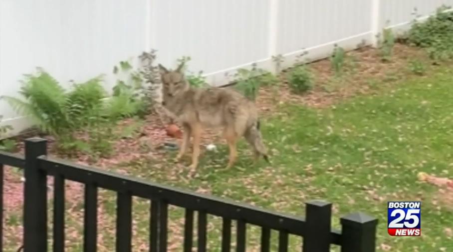 美国麻萨诸塞州5岁男童在自家后院玩沙时被郊狼咬伤腿部