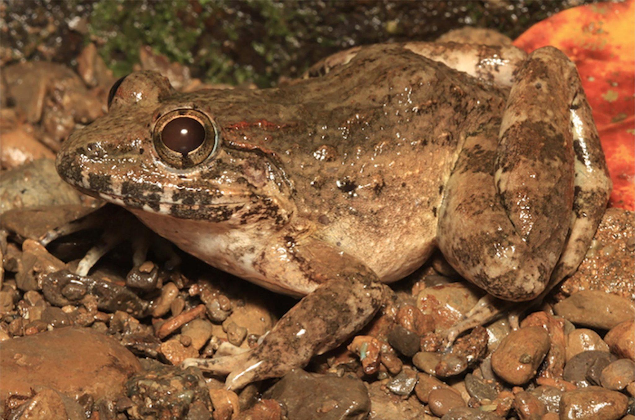菲律宾发现尖牙蛙新物种Limnonectes beloncioi
