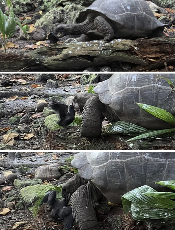 东非塞舌尔群岛军舰岛草食性巨型陆龟开荤吃掉燕鸥