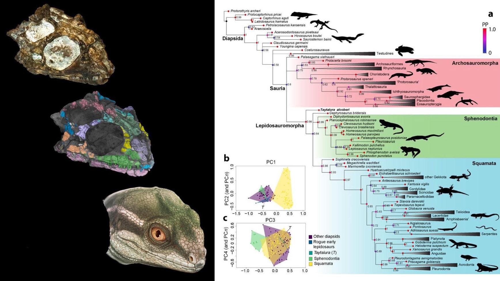 阿根廷三叠纪地层的头骨化石揭示鳞龙类爬行动物类群的起源和崛起
