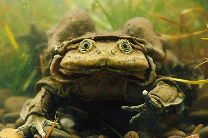 「的的喀喀湖蛙」(Telmatobius culeus)皮肤松弛且充满皱褶,因此获得「阴囊蛙」(Scrotum Frog)的称号。(图/翻摄英国切斯特动物园)