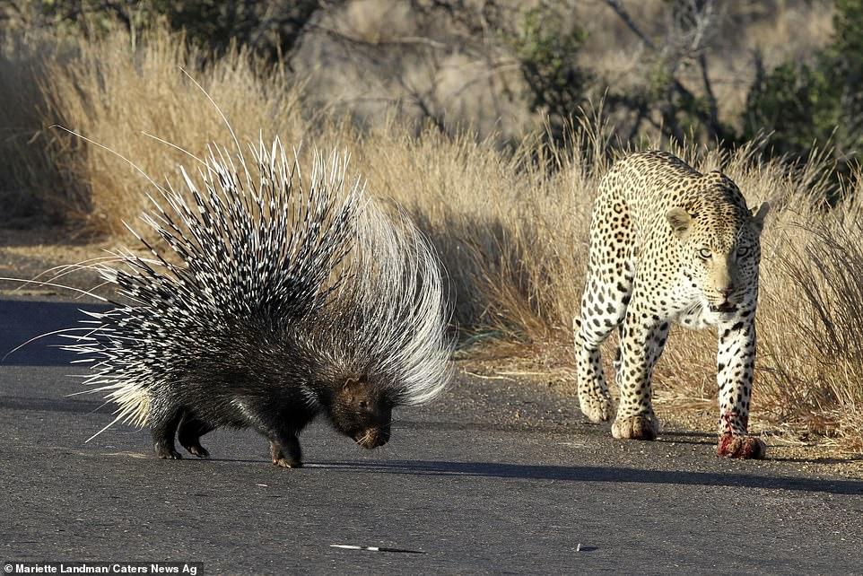 南非克留格尔国家公园饥饿非洲豹攻击豪猪想吃掉它 最后失败离开