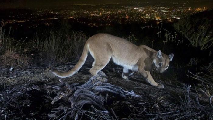 美国加州5岁男童玩耍时遭美洲狮袭击 母亲赤手空拳击退