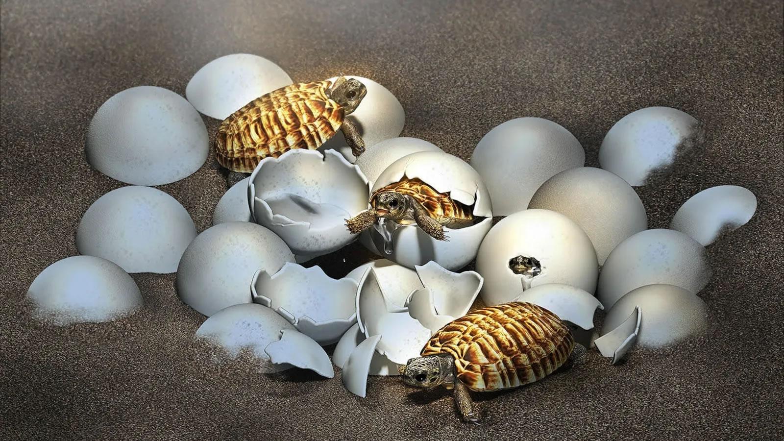 在中国发现的一个蛋化石带来了一个惊喜:一只史前巨龟的宝宝。插图:MASATO HATTORI