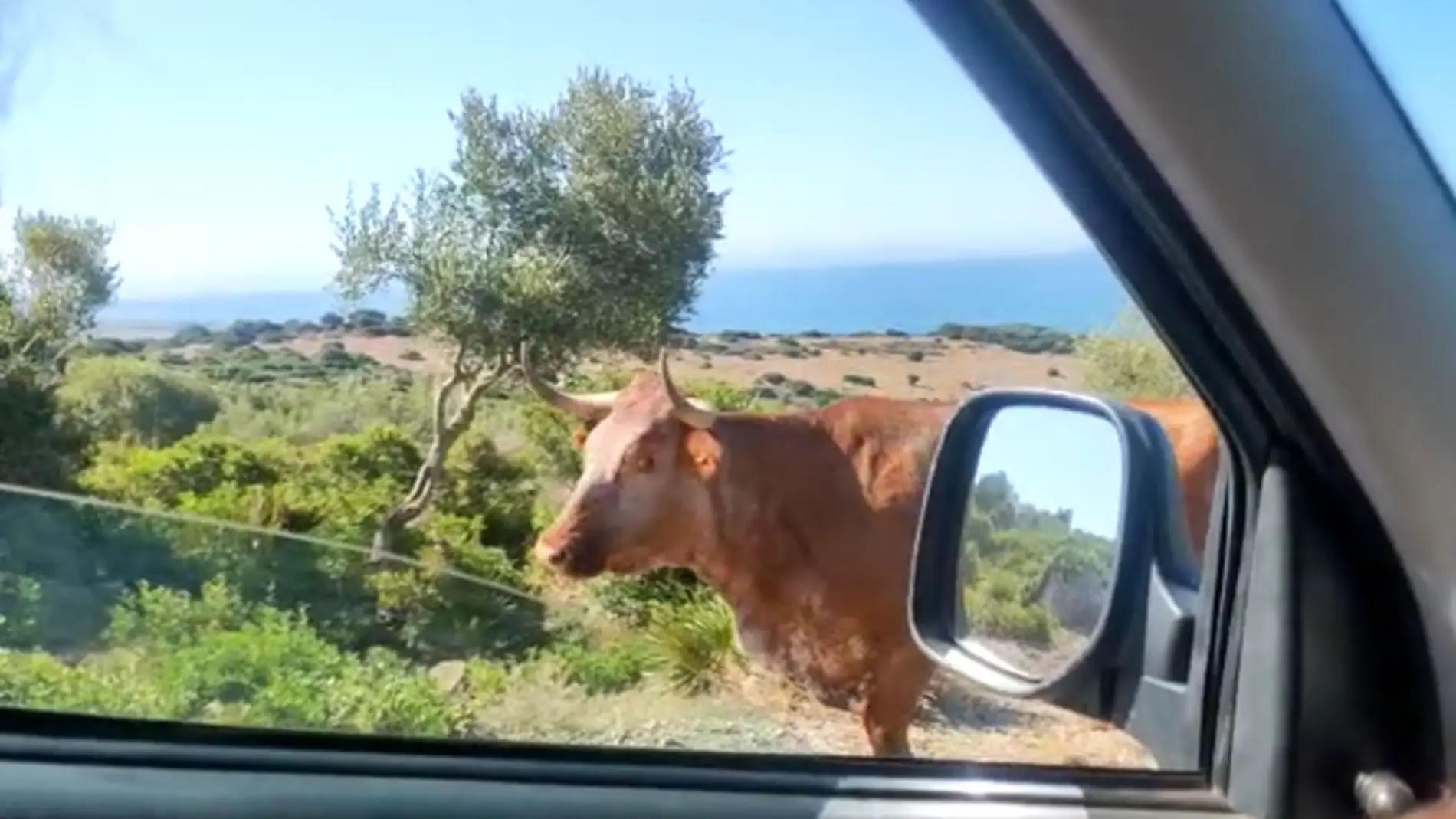 国外网友开车前往西班牙海滩途中停车向牛问路 岂料牛用头指出正确方向