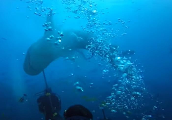 斐济贝卡岛虎鲨狠咬潜水者头部不放 众人对它拳打脚踢才驱离