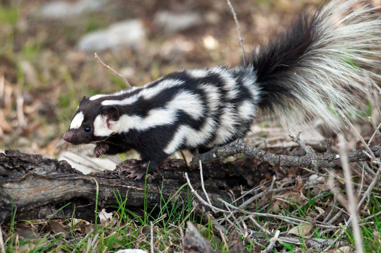 发现三种新品种斑臭鼬 放臭屁前会倒立
