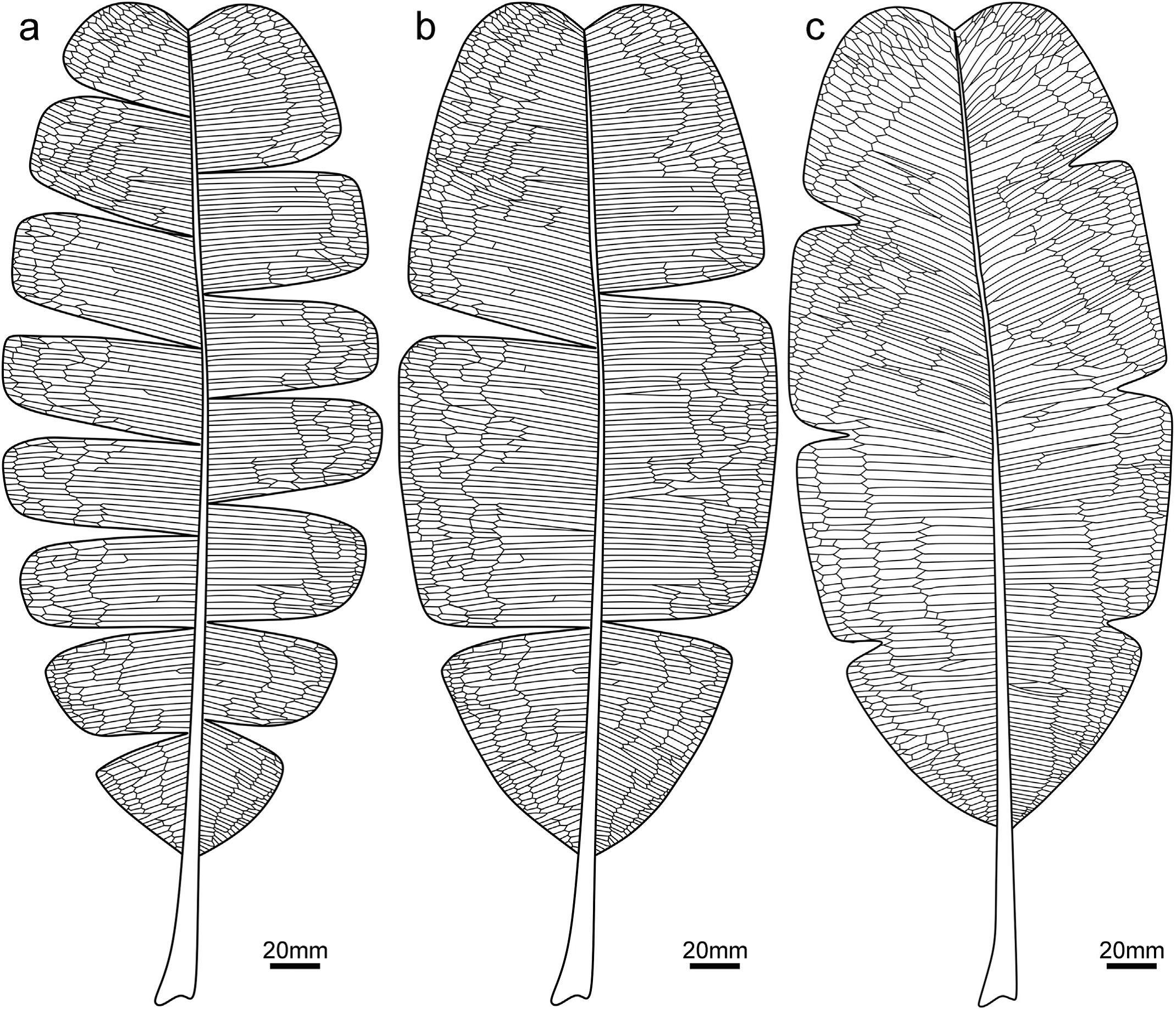 粗买大网羽叶的形态复原图,显示叶缘网脉及具有不同程度的缺刻
