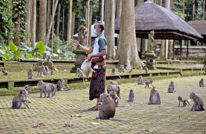 印尼观光胜地峇里岛受疫情影响游客数锐减,当地仰赖游客喂食的猴群因而屡屡闯入民宅抢食。图为森林保护区营运经理莫翁(Made Mohon)拿食物安抚猴子。(图/达志