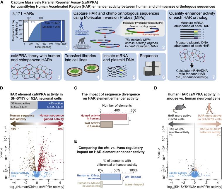 基因进化加速器改变人类大脑发育
