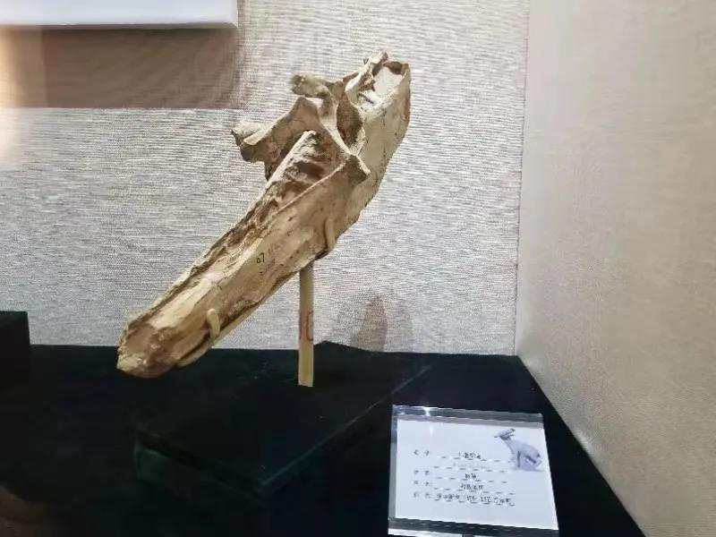 《古脊椎动物学报》:临夏盆地晚中新世鸵鸟化石的特异保存