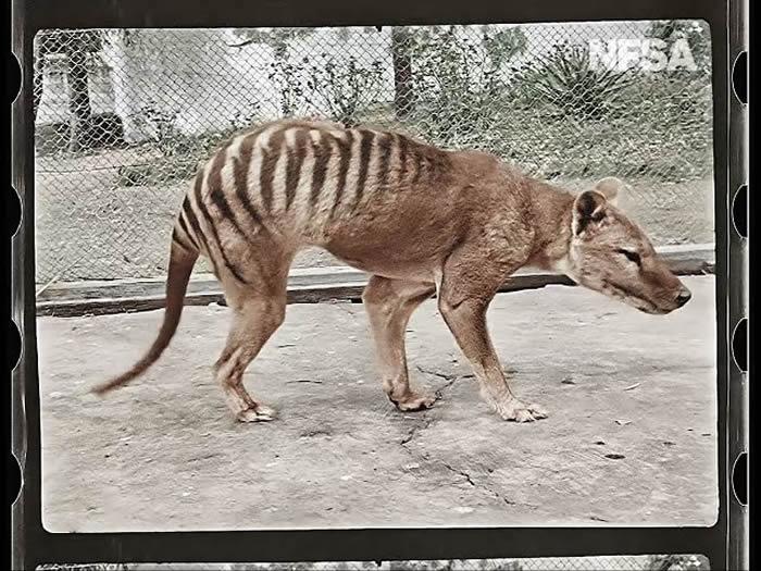 NFSA分享最后一只袋狼(塔斯马尼亚虎)的4K彩色高清重制版影像