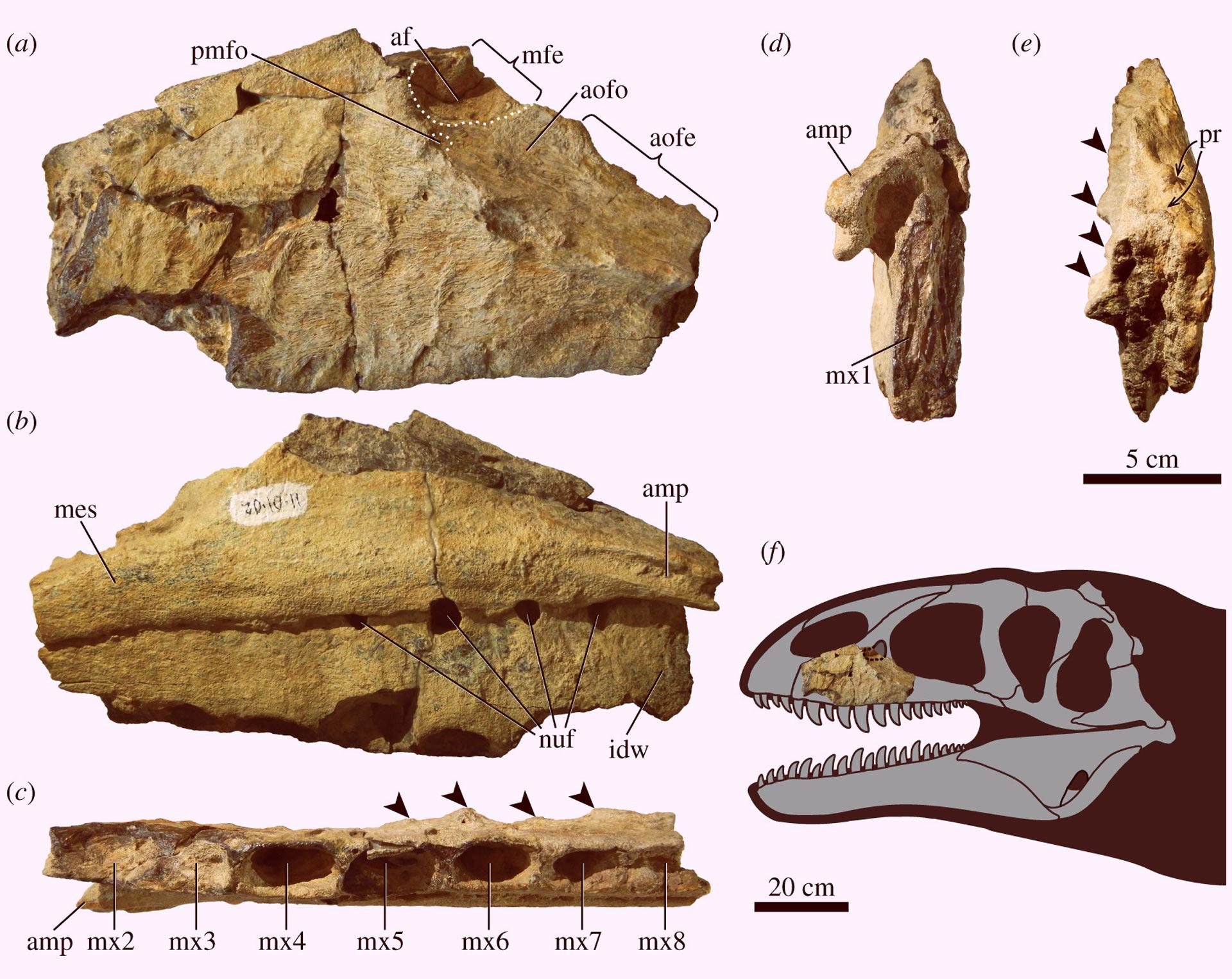 """乌兹别克斯坦发现鲨齿龙属新恐龙""""乌鲁伯格龙"""" 霸王龙之前的霸主"""