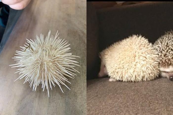 日本北海道网友到小樽市捕渔竟发现一只像刺猬的纯白色海胆