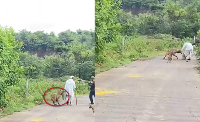 印度马哈拉施特拉邦老人带狗街上散步 草丛中冲出一头土狼狠咬