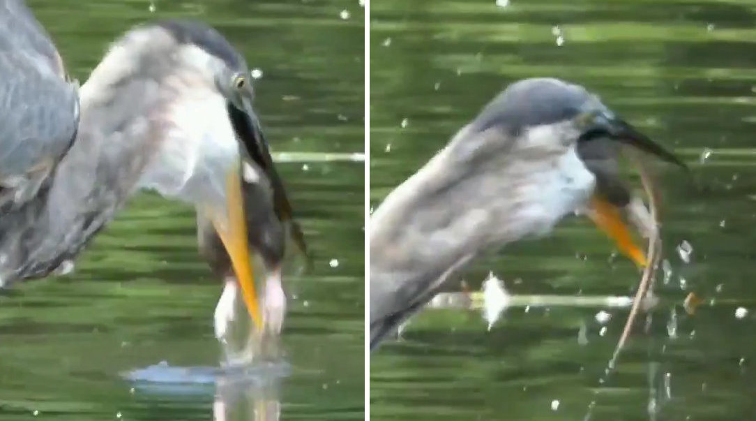 美国纽约中央公园大蓝鹭一口吃掉死老鼠
