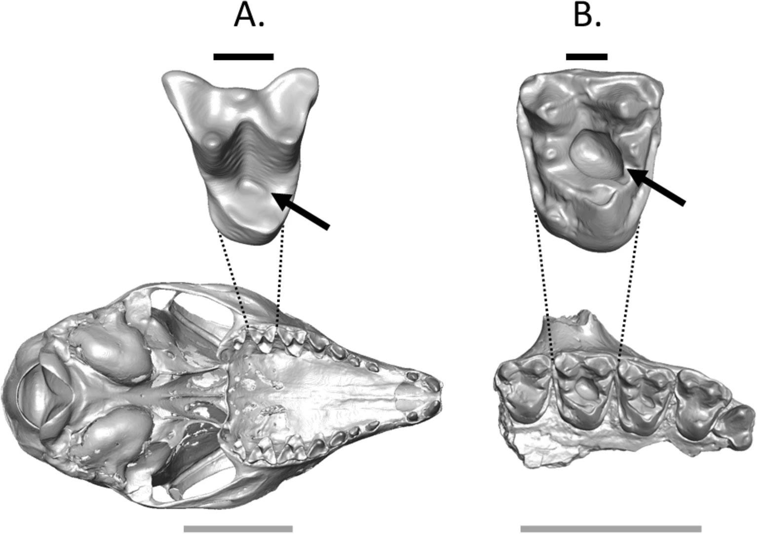 龋齿化石表明史前灵长类动物可能爱吃甜食