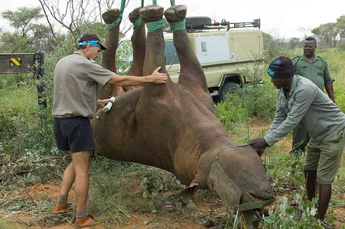 搞笑诺贝尔奖又来了:用倒吊的方式转移犀牛会使犀牛难受吗?