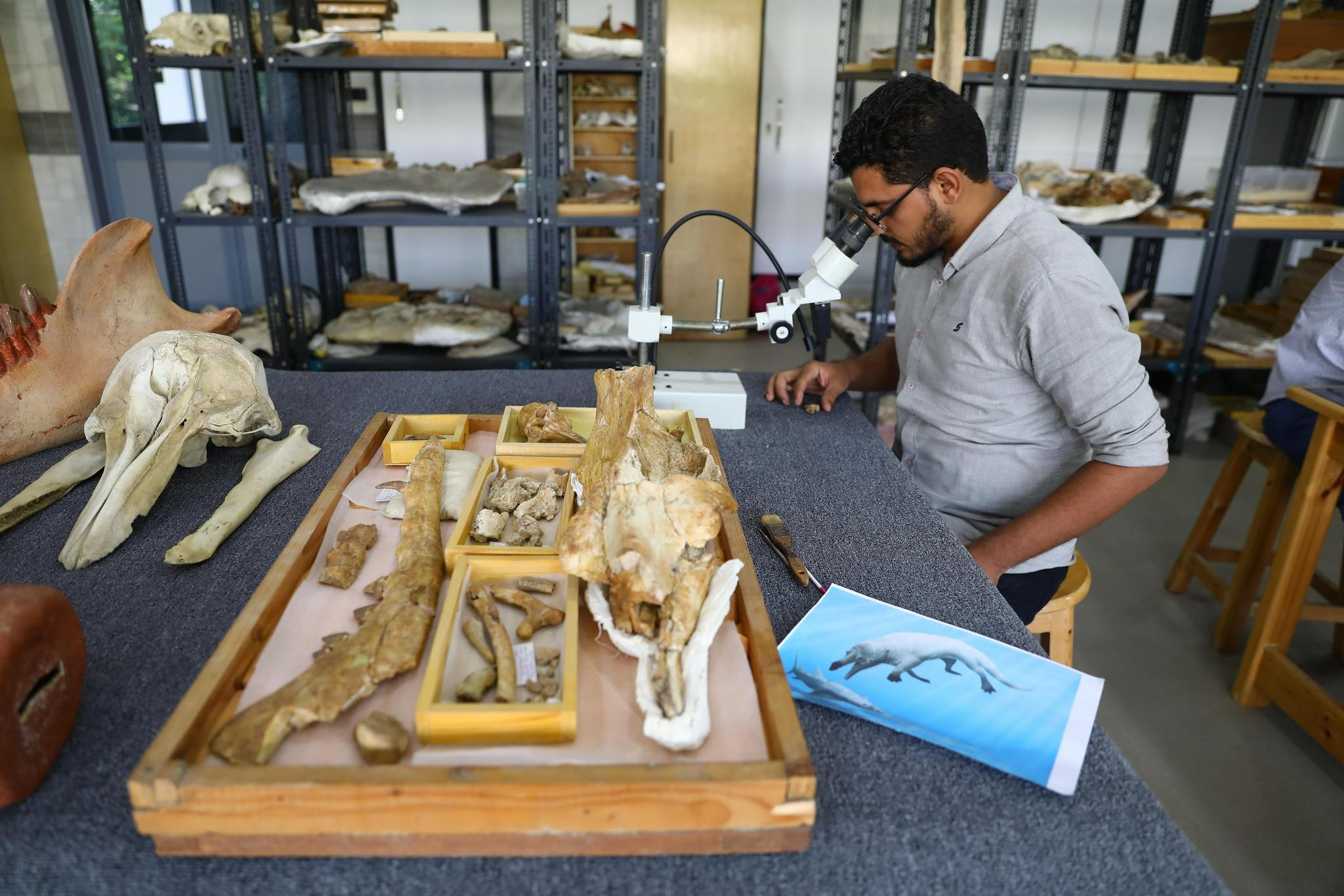 """埃及""""鲸鱼谷""""发现的4300万年前半水生鲸化石揭示早期鲸类如何从陆地走向海洋"""
