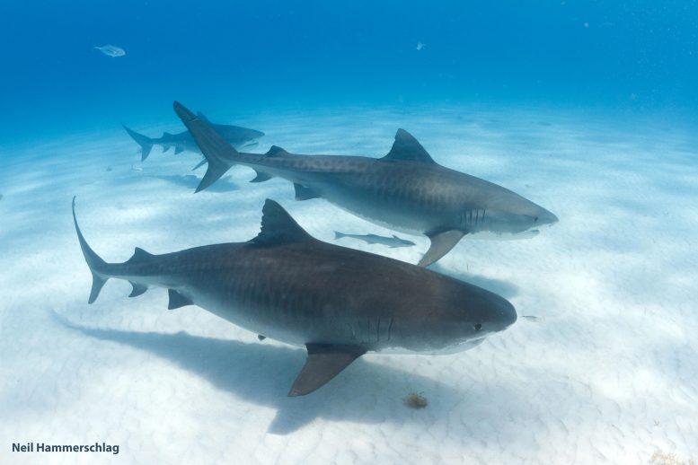 """通常被认为是孤独""""流浪""""物种的虎鲨其实是社交物种"""
