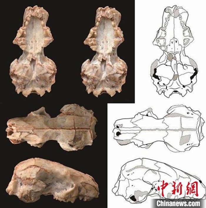 准噶尔合短面猬头骨化石及线条图(图:高伟)。中科院古脊椎所 供图