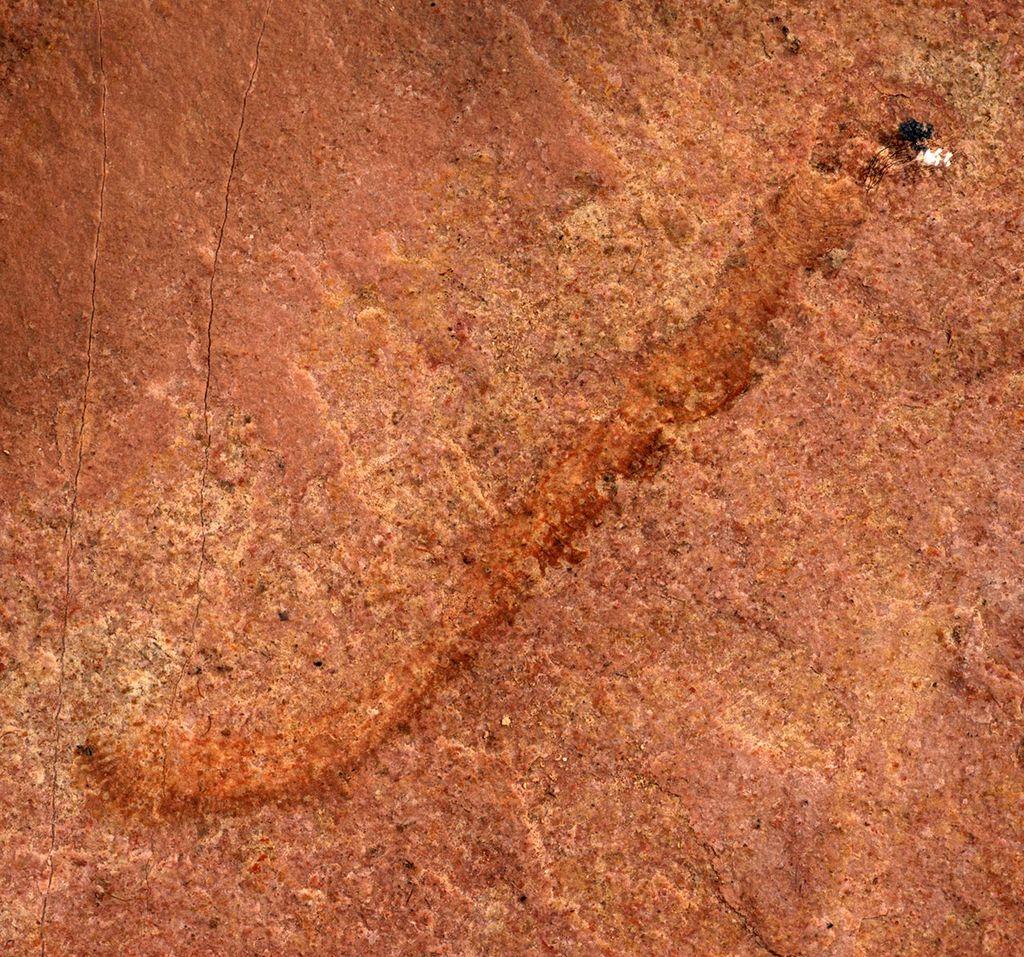 """北美洲发现罕见的有5亿年历史的古蠕虫纲""""类蠕虫""""化石"""
