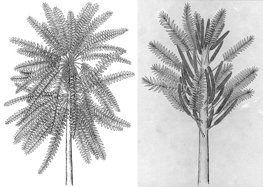植物新物种线描草图