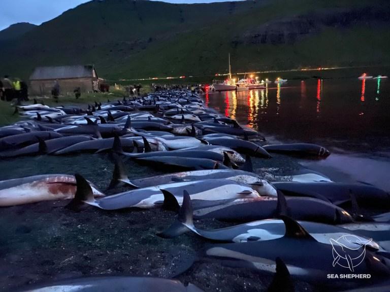 丹麦法罗群岛传统狩猎仪式中扑杀1400多头大西洋斑纹海豚 引发强烈抗议