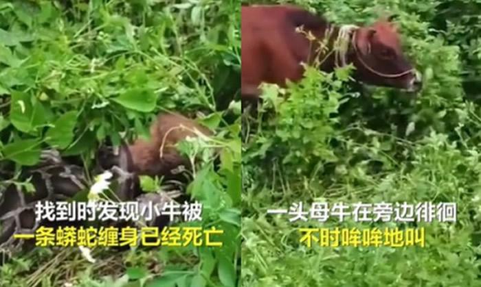 广东广州光辉村小牛被3.5公尺巨蟒吞下肚 母牛目睹悲伤哞哞叫不愿离开