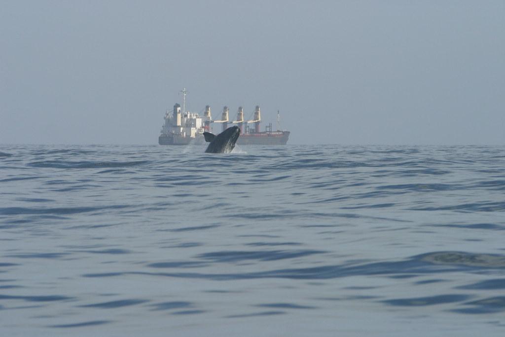 缅因湾因气候变迁而暖化 导致北大西洋露脊鲸数量急剧下降