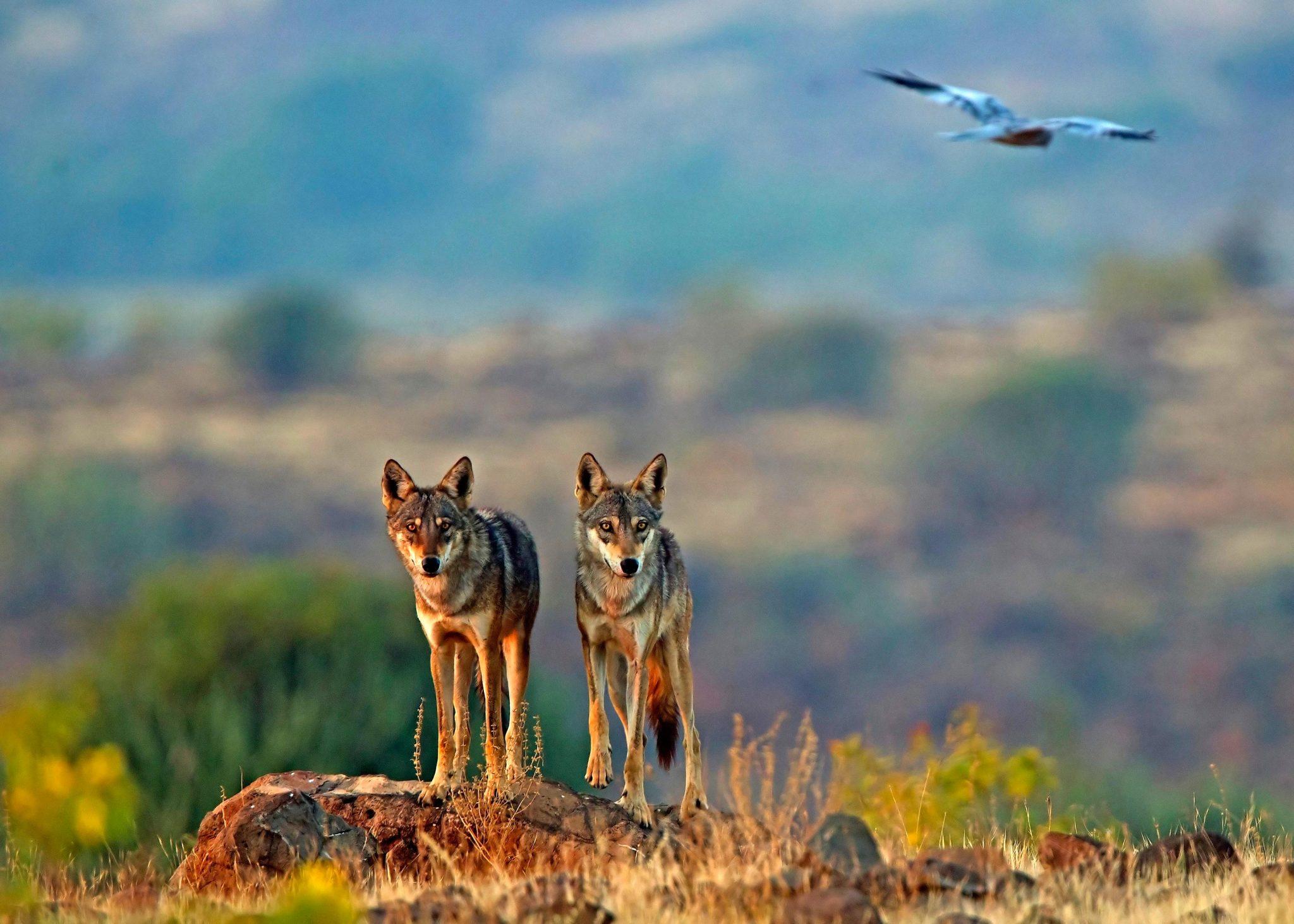 《Molecular Ecology》:印度狼是世界上最濒危的灰狼种群 比之前认为的更加濒危