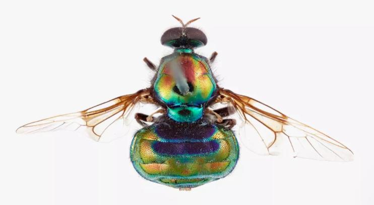 """一种以""""变装皇后""""鲁保罗命名的苍蝇物种Opaluma rupaul"""