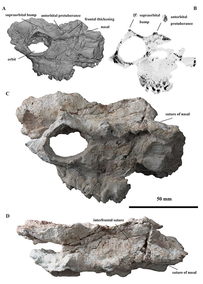 西水半麝Amphimoschus xishuiensis的头骨