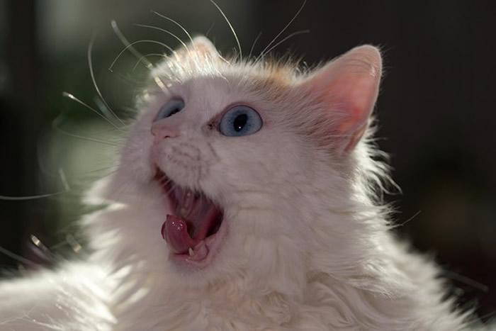 芬兰赫尔辛基大学研究提出万恩猫(梵猫)最好斗而且彼此不太社交 土耳其专家驳斥