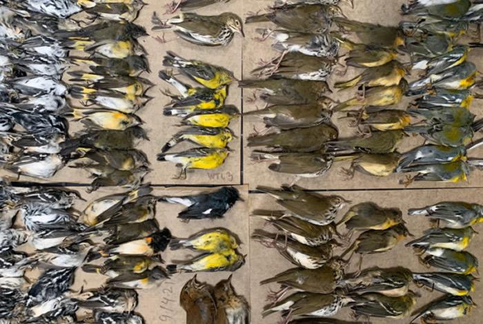 美国纽约世贸中心人行道上出现数百只候鸟的尸体 高楼玻璃成隐形杀手