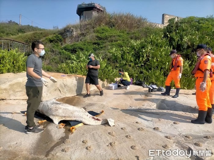 濒危中华白海豚遗体冲上岸陈尸台湾金门九宫码头