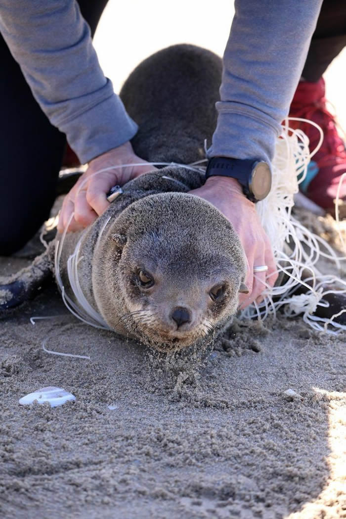渔线和渔网已经对非洲毛皮海狮产生重大影响