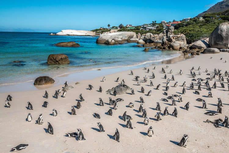 南非西蒙镇附近的非洲企鹅栖息地63只企鹅离奇暴毙 身上都有海角蜜蜂螫叮的痕迹