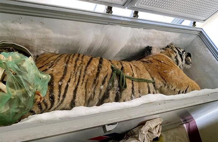 """越南河静省一处民宅冷冻柜打开发现一只160公斤的""""冷冻老虎"""""""