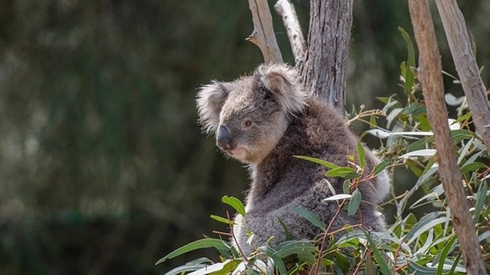澳洲无尾熊在过去3年数量就锐减了三分之一