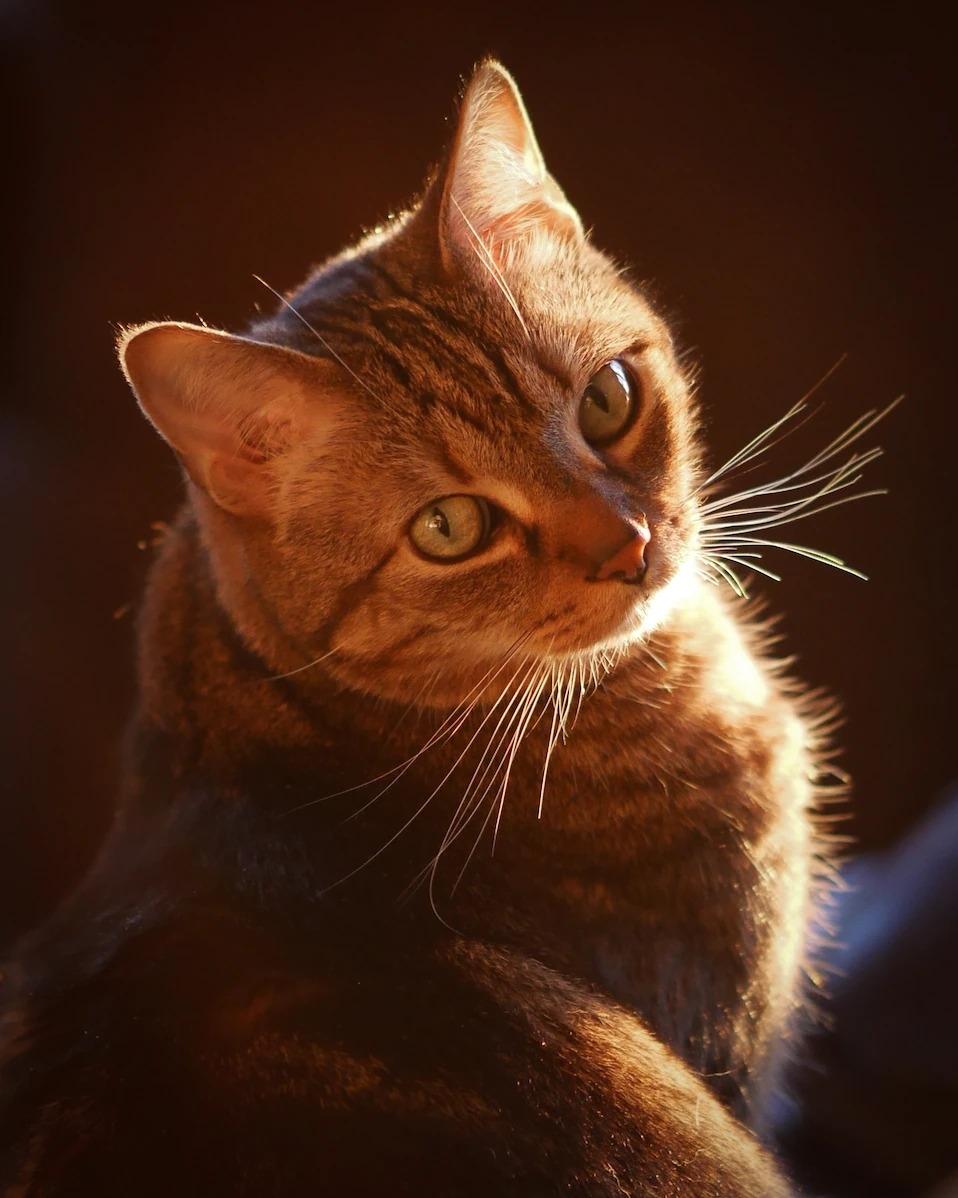 在全美国将近6000万只宠物猫中,经典条纹虎斑特别受欢迎。 PHOTOGRAPH BY AL PETTEWAY AND AMY WHITE, NAT GEO I