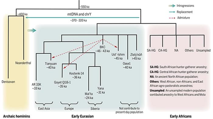 古老型人类和早期现代人的遗传历史示意图
