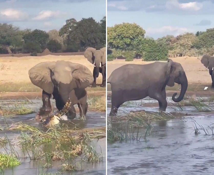 非洲赞比亚野生动物公园母象一脚踩死沼泽鳄鱼