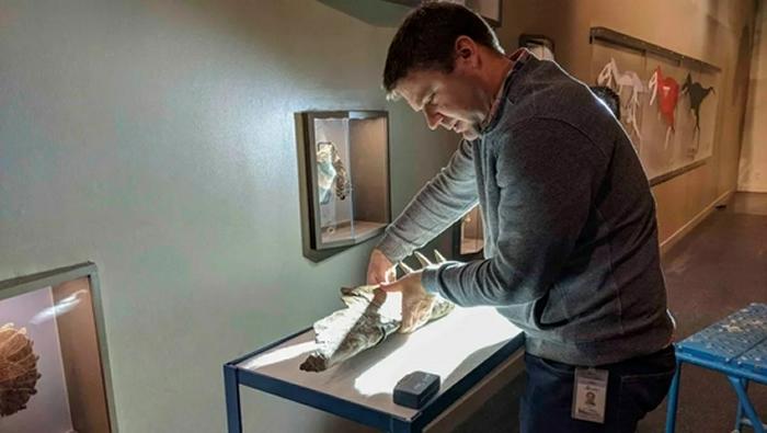 Caleb Brown正在检查艾伯塔龙的颚骨化石。(图片来源:皇家泰瑞尔古生物学博物馆)